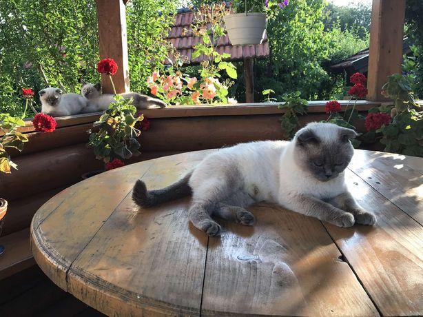 Шотландські весловухі кошенята кіт
