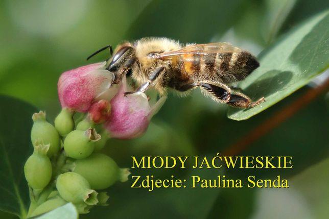 Odkłady pszczele - ramka warszawska poszerzana - pszczoły