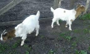 Бурские козы и козлики купить в Киевской области