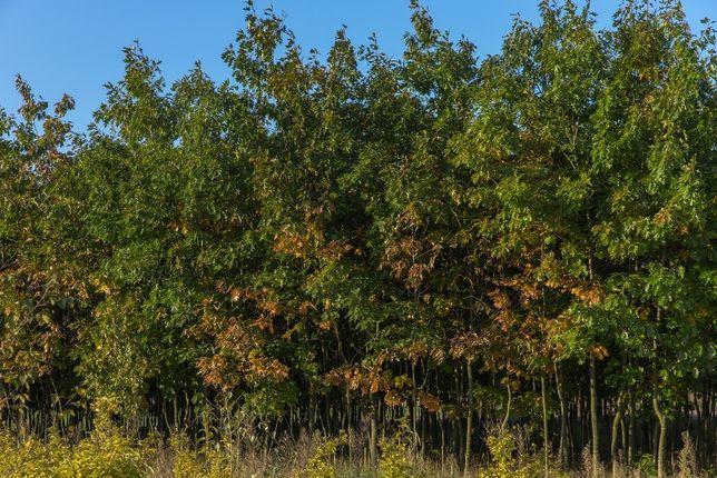 Dąb Czerwony (Quercus Rubra), obwód 8-10 cm, z gruntu