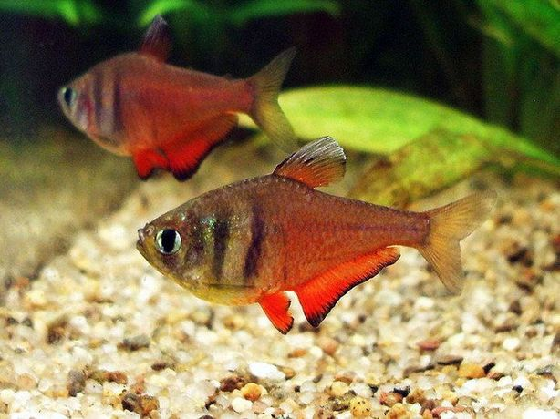 Tetra red Hyphessobrycon flammeus 3 -4 cm