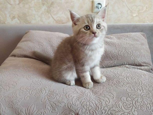 Лиловый котенок, скотиш страйт