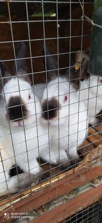 Продам кролики каліфорнійці