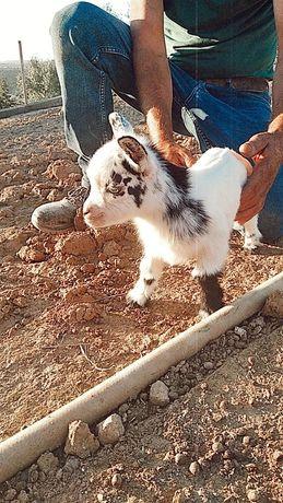 6 cabras anãs para venda