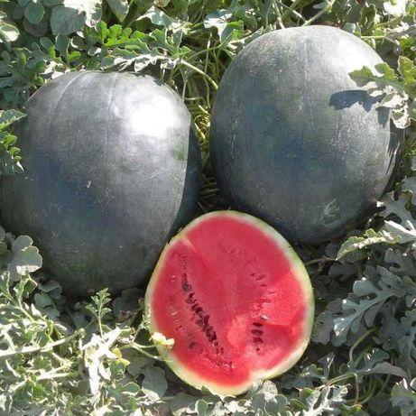 Nasiona arbuza Sugar Baby super odmiana wczesna do gruntu arbuz arbuzy
