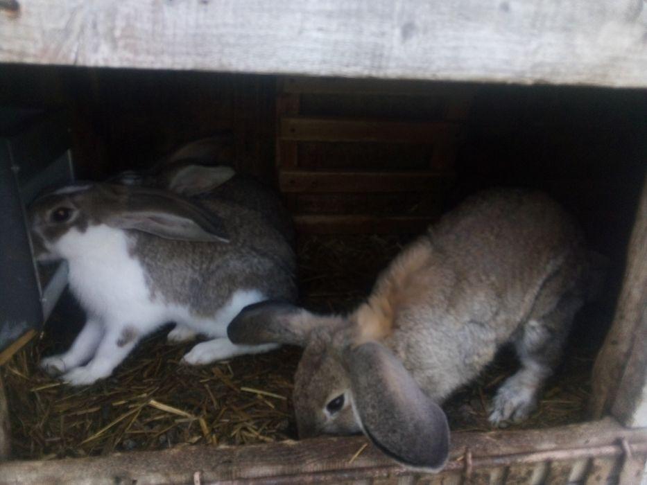 Sprzedam króliki Brygidów - image 1