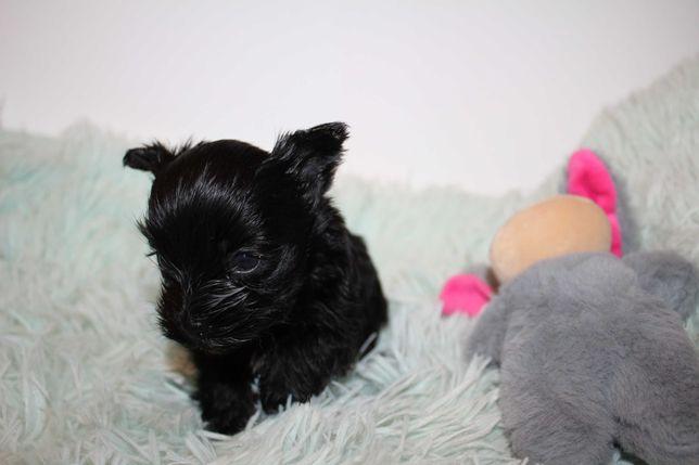 Black Yorkshire Terrier-suczka mini