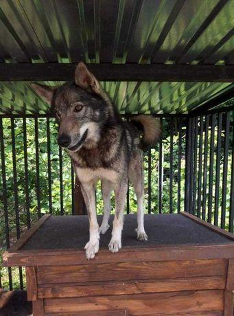 Oddam psa-Wilk szuka domu. Może ktoś przygarnie