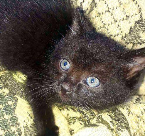 Черный котенок Ник, 1.5 мес. Кот, котик