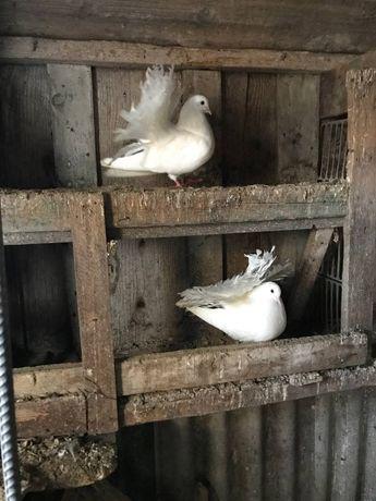 Продам голубей Трубачей