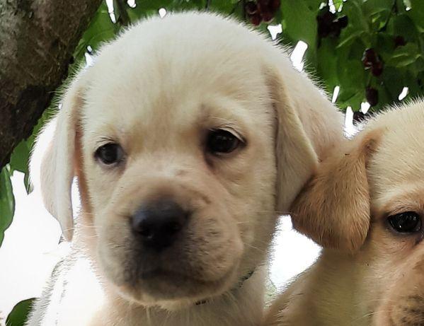Labrador biszkoptowy piesek