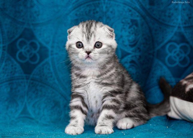 Продам котят скоттиш фолд и скоттиш страйт от красивых родителей