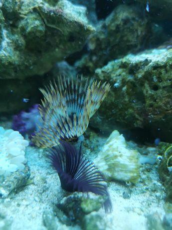 Sabellastarte rurówka akwarium morskie