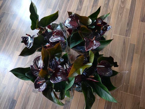 Anturium Anthurium Black Queen czarne