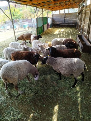 Продам , романовских и мериносов . Овцы  живой вес