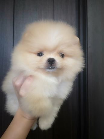 Очень красивые клубные щенки