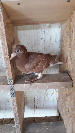 Gołębie pocztowe Mulemansy