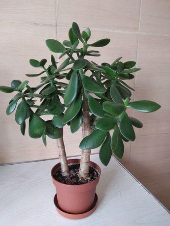 Красула(грошове дерево)