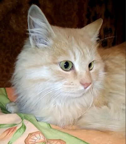 Жаклин - молодая пушистая рыже-персиковая кошка ищет дом и семью