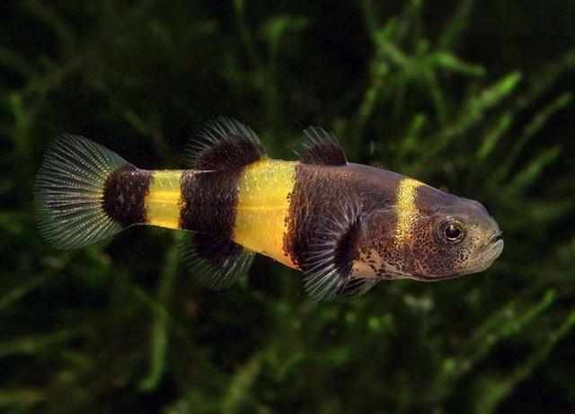 Babka złota osa Brachygobius doriae