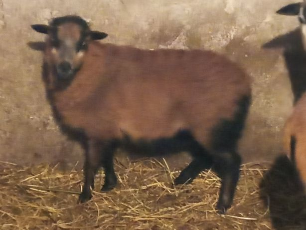 Sprzedam owce kameruńską