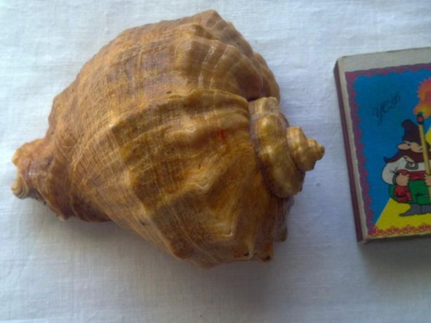 Ракушка натуральная большая, Черноморская, СССР