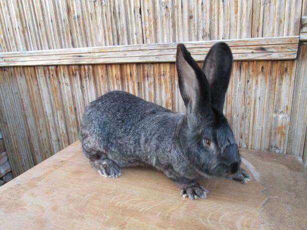 królik olbrzym belgijski