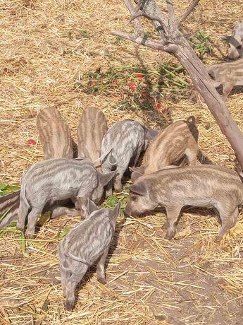 Поросята мангала, мангалицы, свиньи.
