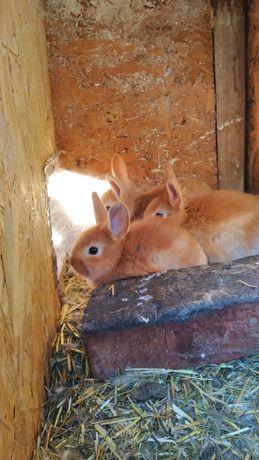 Кролики самцы и самки породы в описании