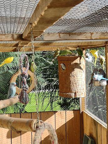 Papugi aleksandrety obrozne