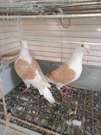 Gołębie śląskie tarczowe żółte