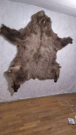 Шкура медведя натуральная