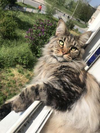 Кот породы Мэйн Кун
