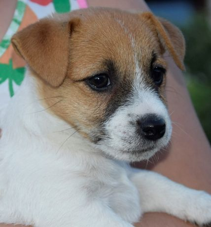 Jack Russell Terrier ZKwP FCI