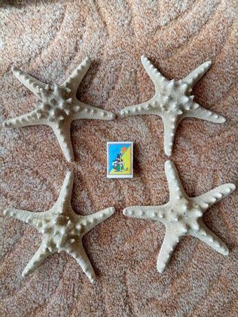 Звезды морские рогатые (рино) БОЛЬШИЕ