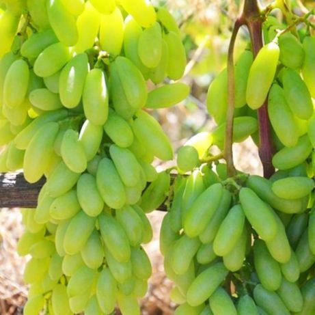 Посадочный материал. Саженцы винограда