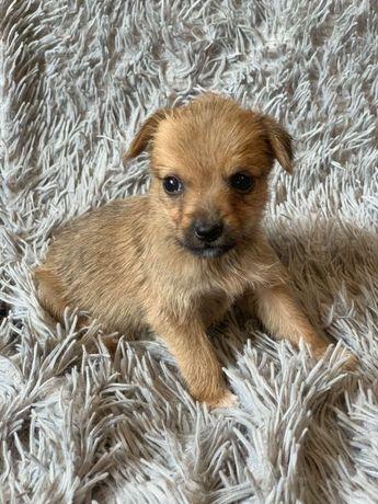 Отдам маленького щенка (девочка), 1 месяц