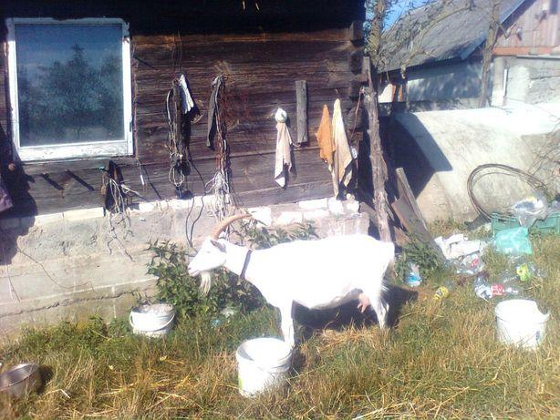 koza z mlekiem 2, litry dziennie