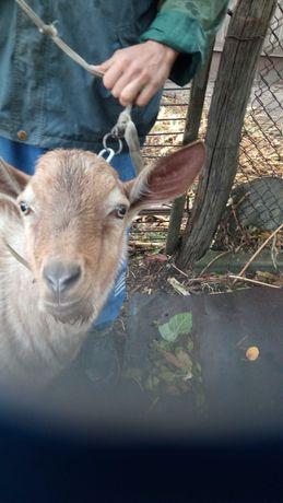 Покрытие коз чешско - нубийским козлом.