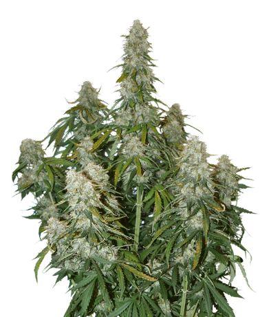 Auto Big bud Feme 3szt Nasiona Marihuany