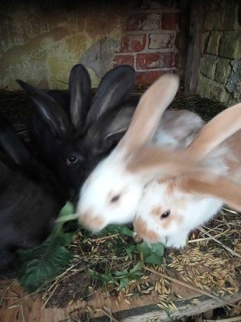 Śliczne króliki sprzedam