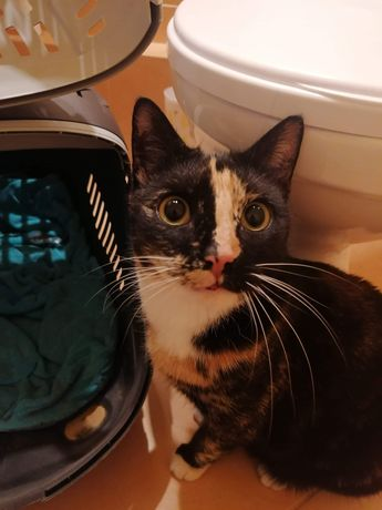 Znaleziona kotka szylkretowa