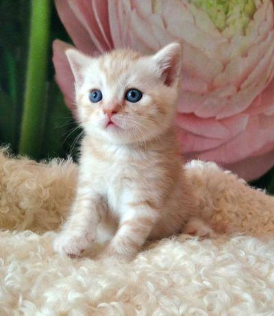 Шотландский котик окрас красный табби.