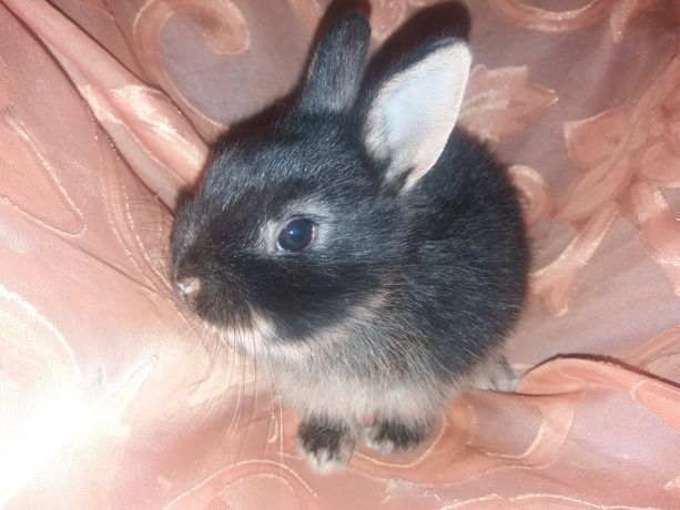 Цветной карлик.  Кролик