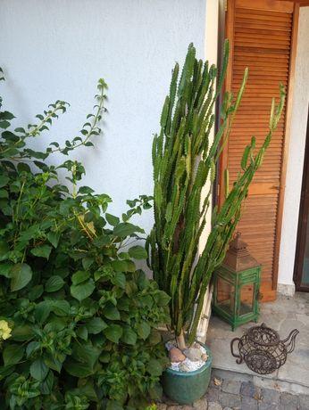 Duży zadbany kaktus