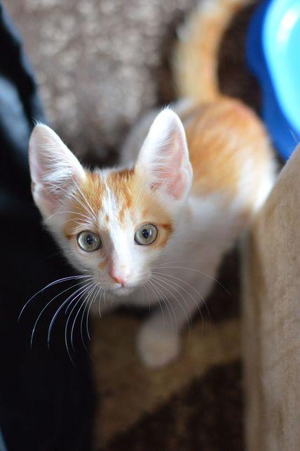 Котенок, котик, мальчик 2,5 месяца