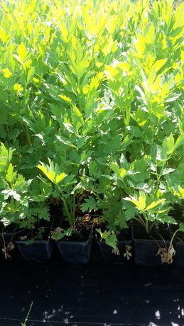 LUBCZYK Należący do roślin wieloletnich lubczyk to aromatyczne ziele