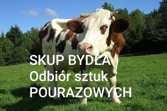 Skup bydła  byki jałowki krowy