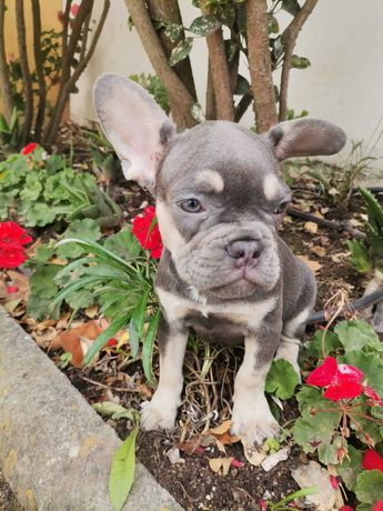 Bulldog francês lilac tan