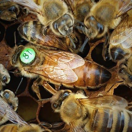 Matki pszczele Buckfast i Krainka rezerwacje na sezon 2021
